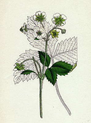 Fragaria Elatior Hautbois Strawberry Art Print