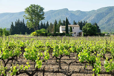 Grapevine Photograph - France, St Remy, Vineyards Luberon by Emily Wilson