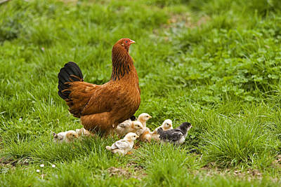 Chicks And Hens Photograph - Free-range Chickens by Jean-Michel Labat