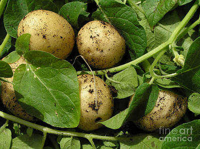 Potatoes Photograph - Fresh New Potatoes by Kerstin Ivarsson