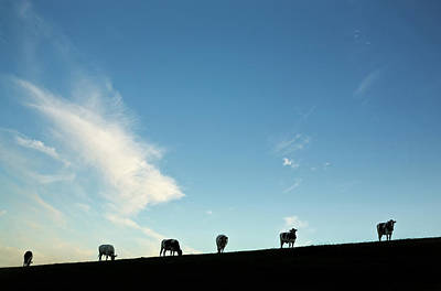 Friesian Photograph - Friesian Cattle,county Waterford,ireland by Panoramic Images