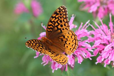 Photograph - Fritillary On Bee Balm by Lucinda VanVleck
