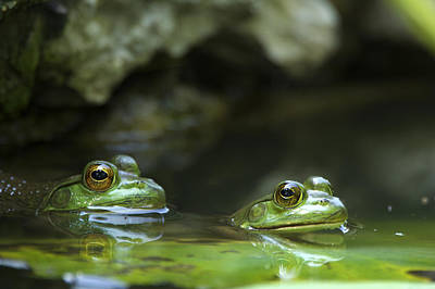 Photograph - Frogs On Lily Pads by Byron Jorjorian
