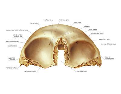 Frontal Bones Photograph - Frontal Bone by Asklepios Medical Atlas