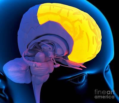 Frontal Lobe In The Brain, Artwork Art Print