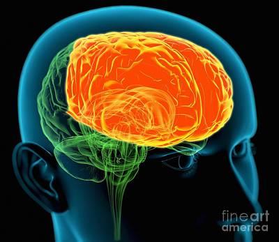 Frontal Lobes In The Brain, Artwork Art Print