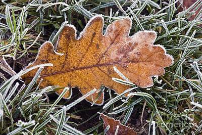 Photograph - Frosted Oak Leaf by Dr. Keith Wheeler