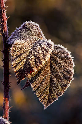 Photograph - Frosty Leaves by Ron Roberts