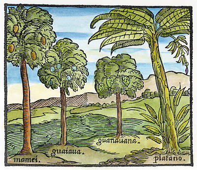 Guava Tree Drawing - Fruit Trees Of Hispaniola by Granger