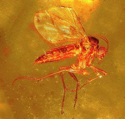 Fungus Gnat In Amber Art Print by Alfred Pasieka/science Photo Library
