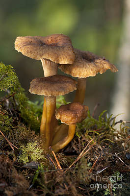 Photograph - Funnel Chanterelle Craterellus by Scott Camazine