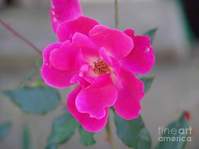 Photograph - Fushia Knockout Rose 2 by Rod Ismay