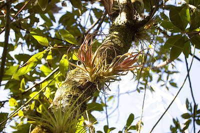 Epiphyte Photograph - Fuzzywuzzy Airplant by Rich Leighton