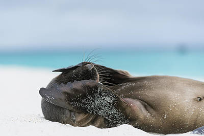 Amusing Photograph - Galapagos Sea Lion Pup Covering Face by Tui De Roy