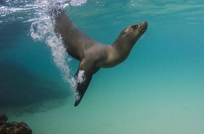 Photograph - Galapagos Sea Lion Swimming Ecuador by Pete Oxford