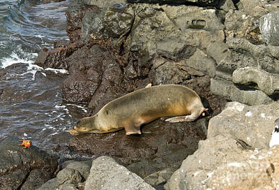 Galapagos Wildlife Photograph - Galapagos Sea Lion by William H. Mullins