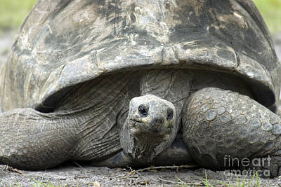 Galapagos Wildlife Photograph - Galapagos Tortoise by Mark Newman