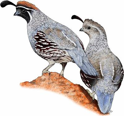 Photograph - Gambels Quail by Roger Hall