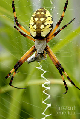 Photograph - Garden Orb Weaver Spider by Paul W Faust -  Impressions of Light