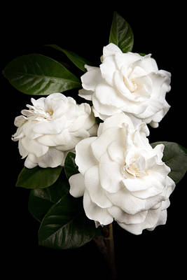 Photograph - Gardenia by Brad Grove