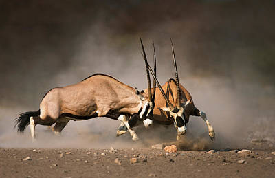 Antelope Photograph - Gemsbok Fight by Johan Swanepoel