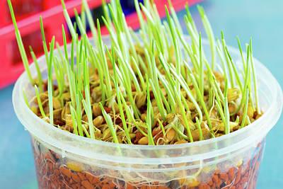Life New Beginnings Photograph - Genetically Modified Wheat by Wladimir Bulgar