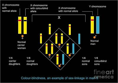 Genetics Of Color Blindness, Diagram Art Print
