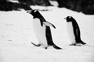 Gentoo Penguin Cooling Down With Wings Outstretched Walking On Cuverville Island Antarctica Art Print by Joe Fox