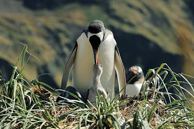 Feeds Chicks Photograph - Gentoo Penguin Feeding Chick by Charlotte Main