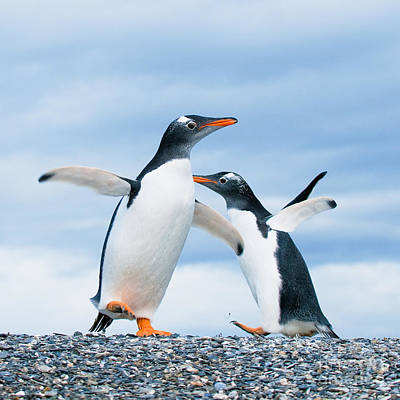 Penguin Photograph - Gentoo Penguins by Konstantin Kalishko