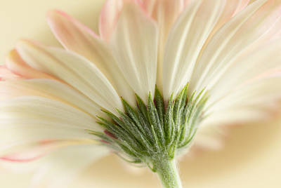 Photograph - Gerbera Daisy by Barbara Smith