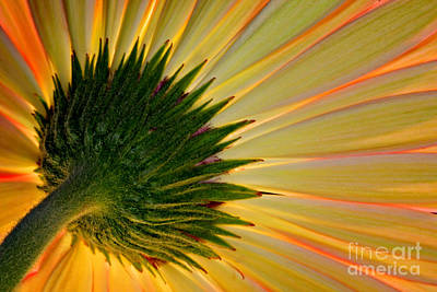 Photograph - Gerbera Fire by Roman Kurywczak