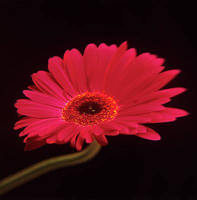Gerbera Flower Art Print by Mark Thomas/science Photo Library