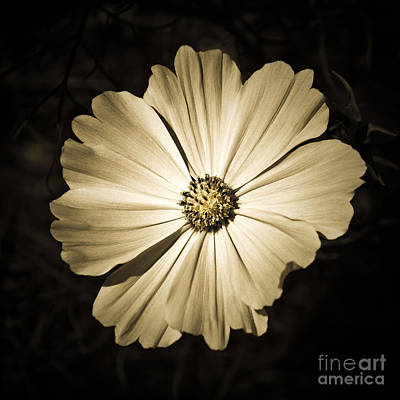 Photograph - Gerbera In Sepia by Susan Parish