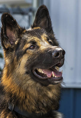 Photograph - German Shepard by Bill Linhares