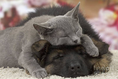 Sweet Dreams Photograph - German Shepherd And Chartreux Kitten by Jean-Michel Labat