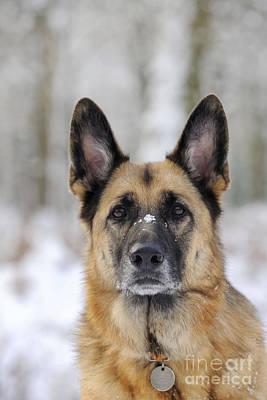 Id Tag Photograph - German Shepherd Dog by John Daniels