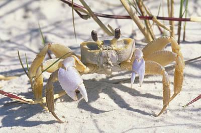 Photograph - Ghost Crab by Millard H. Sharp