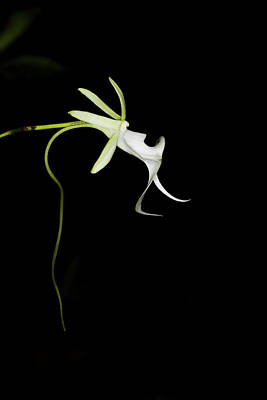Ghost Orchid In Bloom, Polyrrhiza Art Print by Maresa Pryor