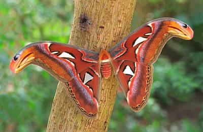 Snake Head Photograph - Giant Atlas Moth by Nigel Downer
