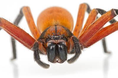 Huntsman Spider Photograph - Giant Crab Spider Suriname by Piotr Naskrecki