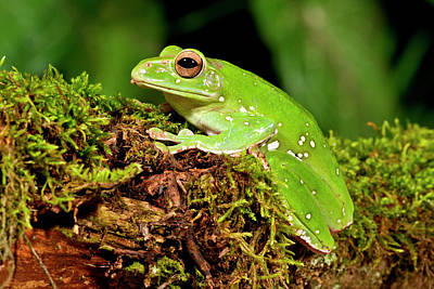 Anuran Photograph - Giant Gliding Treefrog, Polypedates Sp by David Northcott