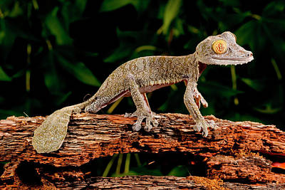 Lizard Photograph - Giant Leaf-tailed Gecko, Uroplatus by David Northcott
