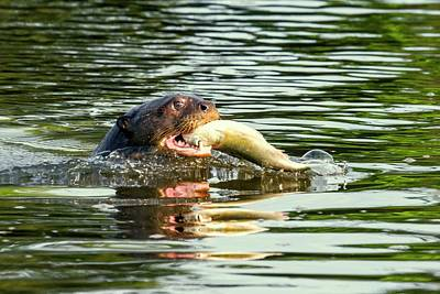 Wetlands Photograph - Giant Otter Feeding by Paul Williams