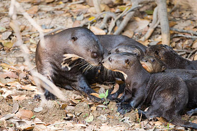 Three Brothers Photograph - Giant Otter Pteronura Brasiliensis by Panoramic Images