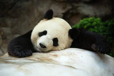 Photograph - Giant Panda At Ocean Park by Huw Jones