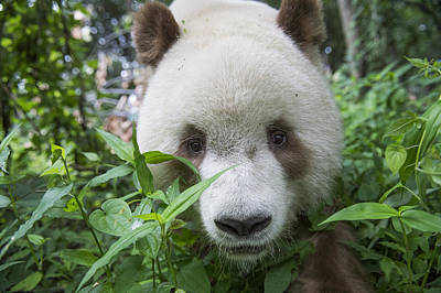 Vulnerable Species Photograph - Giant Panda Brown Morph China by Katherine Feng