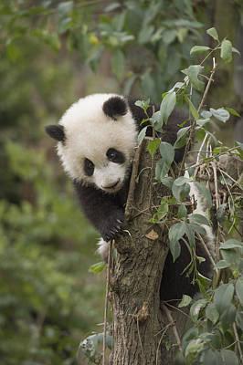 Giant Panda Cub Chengdu Sichuan China Art Print by Katherine Feng