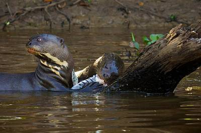Photograph - Giant River Otter 2 by David Beebe
