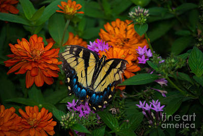 Photograph - Giant Swallowtail by Angela DeFrias
